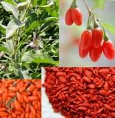 Goji Berry -Η υπέρ-τροφή από το Θιβέτ