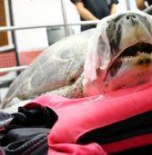 Αφαίρεσαν 917 νομίσματα από το στομάχι χελώνας!