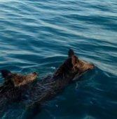 Απίστευτο συμβάν στο Ιόνιο: Αντί για σιναγρίδες ,ψάρεψαν…αγριογούρουνα !(Video)