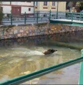 """Αγριογούρουνο κολυμπά σαν …""""δελφίνι"""" σε ποταμι της Φλώρινας και γίνεται viral.(Video)"""